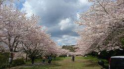クロカン桜1.jpg