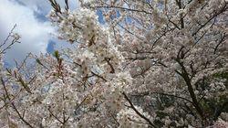 クロカン桜2.jpg