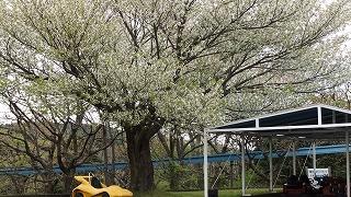 ゴー桜.jpg