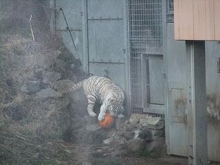 タイガー燃える.jpg