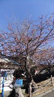 奇妙な桜.jpg