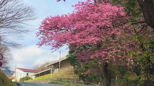 桜③.jpg