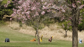 桜仲良し.jpg